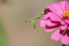 praying mantis (mnolen2) Tags: mantis praying insect flower nature