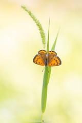 Rode vuurvlinder / Purple-edged Copper (Judith_Borremans) Tags: macro butterfly insect pastel vlinder bulgarije vuurvlinder macrofotografie purpleedgedcopper