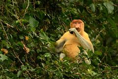 Male Proboscis Monkey (dtredinnick13) Tags: borneo kinabatanganriver malaysia nikon nikon28300 nikond850 proboscismonkey sabah sukau animal animalphotography mamal monkey nature naturephotography primate wildlife wildlifephotography