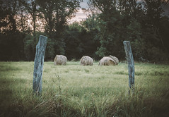 hay bales (Steve Stanger) Tags: olympus olympusomdem10markii microfourthirds m43 micro43 getolympus olympuscamera nature farm farming haybales summer sunset nj newjersey grass sky trees posts fenceposts roadside rt34 route34 landscape