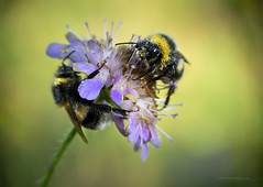Breakfast after shower (Petra Ries Images) Tags: nature natur closeup nahaufnahme manualfocus manuallens vintagelens bokeh shallowdepthoffield backlit gegenlicht kodakanastigmat63mmf27 hummel bumblebee insect insekt blüte blume flower dew tau