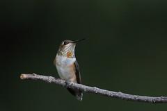 Rufous Hummingbird (jlcummins) Tags: rufoushummingbird bird home backyardbirds yakimacounty washingtonstate
