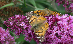 A lot of them this year (Elisa1880) Tags: painted lady vanessa cardui distelvlinder butterfly vlinder insect egmond noordholland