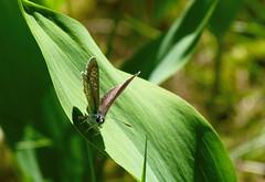 Blåvinge (evisdotter) Tags: blåvinge blue butterfly fjäril polyommatini lepidoptera insect nature light macro bokeh