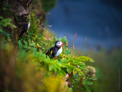 Iceland Puffin GFX50s (www.mikereidphotography.com) Tags: iceland puffins sunrise sunset landscape gfx50s