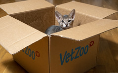 VetZoo (peter_hasselbom) Tags: cat cats kitten kittens abyssinian blue 12weeksold box cardboardbox cardboard vetzoo hardwoodfloor flash 1flash 50mm