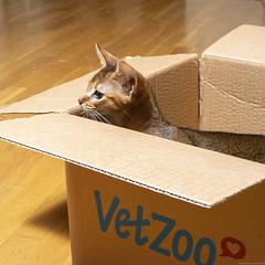 Cardboard Boxes 7 (peter_hasselbom) Tags: cat cats kitten kittens abyssinian 12weeksold ruddy usual box cardboardbox cardboard vetzoo hardwoodfloor flash 1flash 50mm