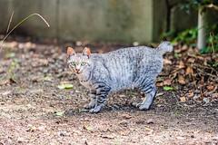 中央区西公園の猫 (S.R.G - msucoo93) Tags: 日本 九州 福岡 貓 gx8 sigma56mmf14