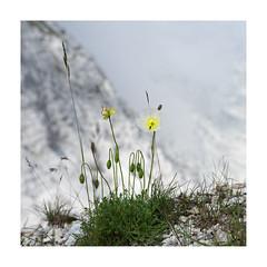 Alpen - Mohn (memories-in-motion) Tags: 2019 slowenien soca kanin papaveralpinum alpen mohn flower mountain nature fuji gfx50r gf3264mmf4rlmwr