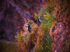 Pair of Puffins in Iceland (www.mikereidphotography.com) Tags: iceland puffins sunrise sunset landscape gfx50s