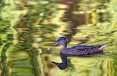 The Mighty Duck. (WilliamND4) Tags: duck bird pond bostonpublicgarden boston animal nikon d810 reflection