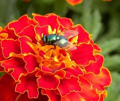 Colours of nature (simonpfotos) Tags: fly orange flower