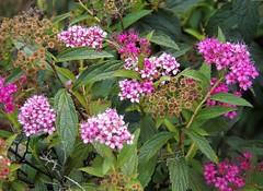 Summer Spiraea (MissyPenny) Tags: spiraea shrub pink southeasternpa summer bensalempennsylvania
