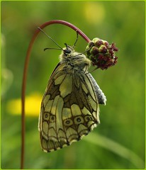 Female Marbled White on Salad Burnet (glostopcat) Tags: marbledwhitebutterfly butterfly lepidoptera insect invertebrate macro wildflower saladburnet summer july glos butterflyconservation prestburyhillnaturereserve
