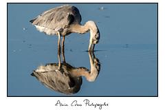 héron2 (tug44) Tags: héron cendré oiseau échassier eau pêche reflet