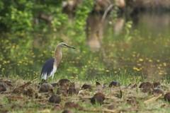 Javan Pond Heron (christopheradler) Tags: thailand pond heron pondheron ardeola javan speciosa