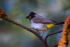 Black-eyed Bulbul (leendert3) Tags: leonmolenaar southafrica krugernationalpark naturereserve nature naturalhabitat wildlife wilderness wildanimal wildflowers wildbirds blackeyedbulbul ngc npc naturethroughthelens coth5