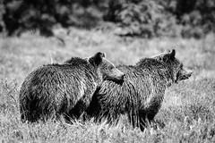 Grizzly Bears, Grand Teton National Park. June, 2019. (Guillermo Esteves) Tags: grizzlybears bears fujifilm wyoming wildlife fujifilmxt3 unitedstates nationalparks grandtetonnationalpark moran blackandwhite unitedstatesofamerica