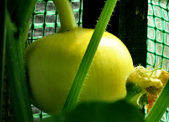 alle guten Dinge sind drei.... (karin_b1966) Tags: frucht fruit pflanze plant garten garden natur nature 2019 kürbis pumpkin yourbestoftoday