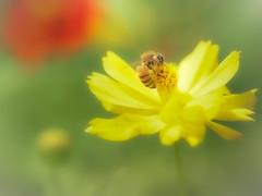 BEE-AUTIFUL! (Tomo M) Tags: beeautiful smileonsaturday insect yellow flower nature bokeh cosmossulphureus macro
