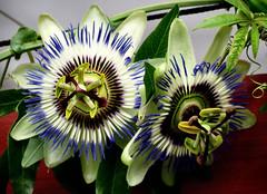 Duett (karin_b1966) Tags: blume flower blüte blossom pflanze plant garten garden natur nature 2019 passionsblume yourbestoftoday