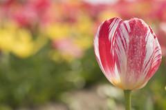 Festival de couleurs **--- ° (Titole) Tags: tulip titole nicolefaton shallowdof colorful friendlychallenges thechallengefactory