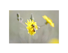 Bee-autiful !! (EFD-fotolab) Tags: naturaleza abeja nikkor105mm nikond610 nikon macrofotografia macro beeautiful smileonsaturday