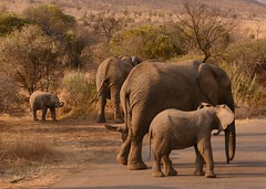 It's always nice to find your family (Englepip) Tags: baby elephant pilanesberg southafrica animal mother matriarch family bush