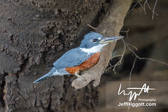 Ringed Kingfisher (Jeff Higgott (Sequella.co.uk)) Tags: jeffhiggott jeffhiggottphotography s sequella speedway brazi brazil brasil bird