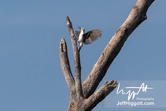 White Woodpecker (Jeff Higgott (Sequella.co.uk)) Tags: jeffhiggott jeffhiggottphotography s sequella speedway brazi brazil brasil bird