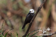 White-headed Water-tyrant (Jeff Higgott (Sequella.co.uk)) Tags: jeffhiggott jeffhiggottphotography s sequella speedway brazi brazil brasil bird