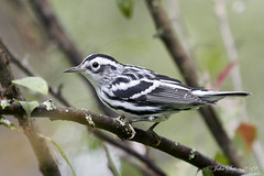 Black-and-white Warbler - Male (johnsutton580) Tags: corinth vermont unitedstates