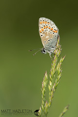 Brown argus (Matt Hazleton) Tags: brownargus ariciaagestis butterfly insect canon canoneos7dmk2 eos 7dmk2 100mm canon100mm matthazleton matthazphoto wildlife nature animal outdoor summerleys bcnwildlifetrust northamptonshire