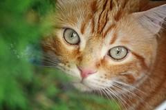 Spritz (En memoria de Zarpazos, mi valiente y mimoso tigre) Tags: kitten cat gato gatto ginger tabby greeneyes garden green redcat chatroux
