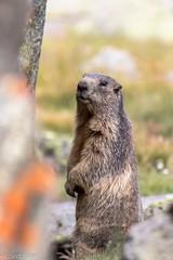Marmotta-Marmota (riccardo stra) Tags: marmotta marmot marmotte granparadiso granparadis canon canon7dii wild sauvage animale selvatico alpi alpes valledaosta mountainanimals animalswild pngp