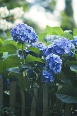 Evening Flower Garden Bokeh | 13. August 2019 | Tarbek - Schleswig-Holstein - Deutschland (torstenbehrens) Tags: evening flower garden bokeh | 13 august 2019 tarbek schleswigholstein deutschland