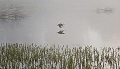 Flight (david__barkman) Tags: birds fog lake duck