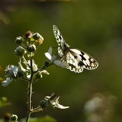 butterfly..........Spain (atsjebosma) Tags: butterfly vlinder macro light nature natuur licht spain zamora atsjebosma summer zomer july juli dambordje melanargiagalathea ngc coth5 npc
