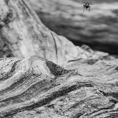 summ summ summ hum hum hum (Alex von Sachse) Tags: hornet approach for landing nature fineart details insect monocrome blackandwhite schwarzweiss
