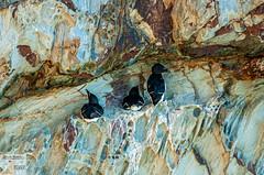 AngSthStk19_DSC1987 (Nick Woods Photography) Tags: wales northwales northwalescoast walescoast anglesey southstack rspb rspbreserve birds wildlife wildbird wildbirds waterfowl seabirds cliffs cliffface seacliffs razorbills