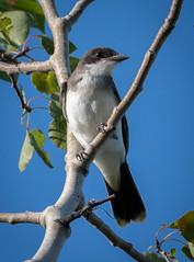 Eastern Kingbird (robin-loo) Tags: kingbird bird meaford ontario nikon nikond7500 nikkorafs200500