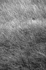 Chat alors ! (Tonton Gilles) Tags: terrain vague champ friche hautes herbes noir et blanc oreilles tête de chat félin matou regard graphisme
