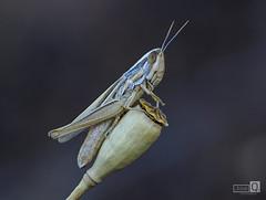 Saltamontes (JoseQ.) Tags: macro macrofotografia bischos insectos animal saltamontes texturas