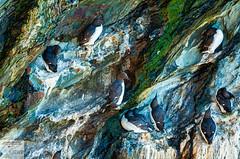 AngSthStk19_DSC1986 (Nick Woods Photography) Tags: wales northwales northwalescoast walescoast anglesey southstack rspb rspbreserve birds wildlife wildbird wildbirds waterfowl seabirds cliffs cliffface seacliffs guillemots