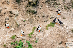 AngSthStk19_DSC1978 (Nick Woods Photography) Tags: wales northwales northwalescoast walescoast anglesey southstack rspb rspbreserve birds wildlife wildbird wildbirds waterfowl seabirds cliffs cliffface seacliffs puffins