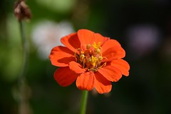 Flower (_rney_) Tags: flower blume outdoor nature
