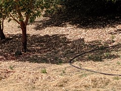 I passed this coyote on the way to work recently and I think I interupted a turkey stalk. He's pretty well camouflaged in the shade, and a dozen turkeys were off to the right. (JScottRomero) Tags: coyote wildlife santacruzmountains