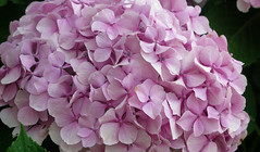 Hortensia rose / Pink Hydrangea (Sokleine) Tags: closeup hortensia fleur flower rose pink pétales aberwrach landéda nature flore bretagne brittany 29 finistère france hydrangea
