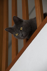 Mysha the cat (datkhajiit) Tags: cat fluffy cute animal pets pet watching photography kitten wood brown grey white tamron 18200 portrait chat canon 4000d amateur starter