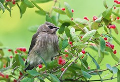 Cedar Waxwing (Bombycilla cedrorum) (Gavin Edmondstone) Tags: bombycillacedrorum cedarwaxwing bird oakville ontario